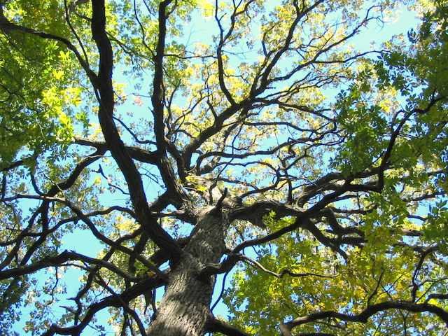 Bristol Woods possesses a impressive collection of enormous oak trees--many with knarled limbs such as this one.
