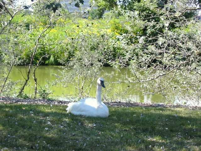 Chicago Botanic Garden swan