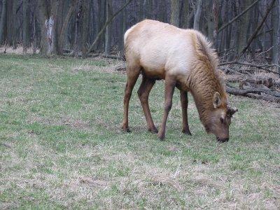The elk at Busse Woods