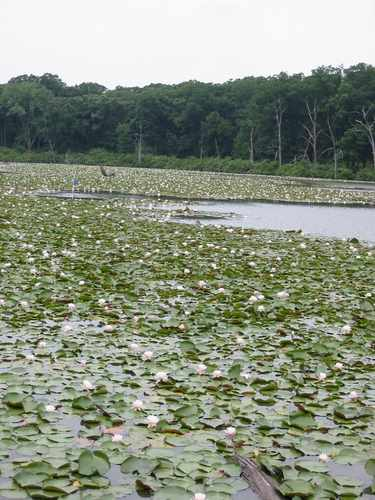 Long John Slough is covered with water lillies for much of the summer.