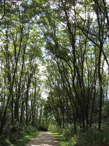 A grove of black locust trees creates a tunnel for the trial.
