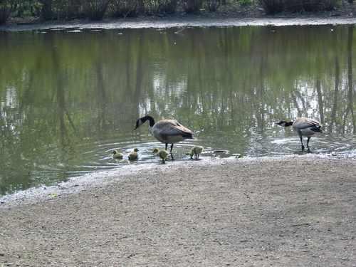 geese fullersburg forest preserve