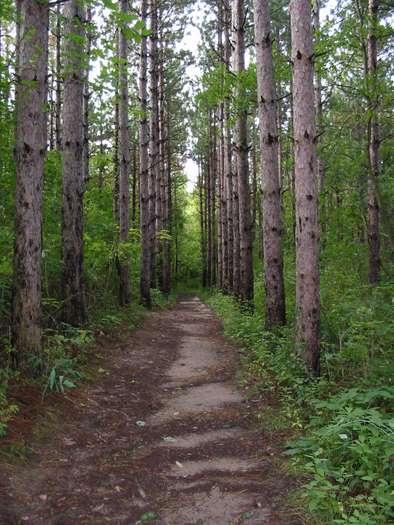 Marengo Ridge Conservation Area, pine trees, mchenry county