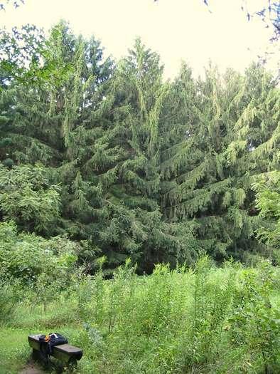 Marengo Ridge Conservation Area, McHenry County, Illinois, pine trees
