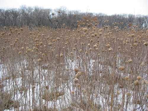 prairie grasses, Greene Valley Forest Preserve, DuPage County,