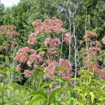 Joe-pye weed grows along the Cowles Bog Trail during the summer.