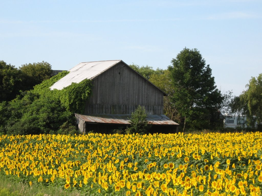 sunflower field and barn