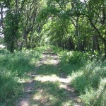 One mile into the hike, the trail shoots straight as an arrow through a dense hedgerow of trees separating two fields. The trail tunnels through a passageway of walnut, hickory, and hedgeapple trees, more commonly known as Osage orange.